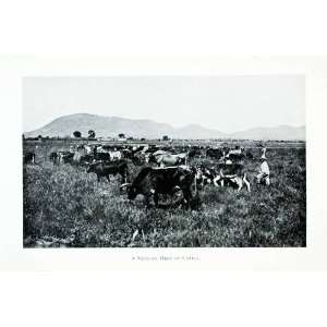 1907 Print Cow Cattle Livestock Mexico Herd Farmer Field